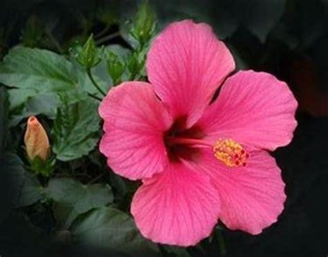arbusti dai fiori rosei pianta con fiori rosa fiori delle piante pianta dai