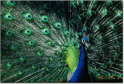 peacock colors peacocks causes of color