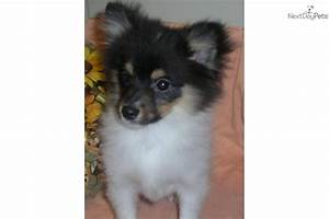 Pomeranian puppy for sale near Buffalo, New York ...