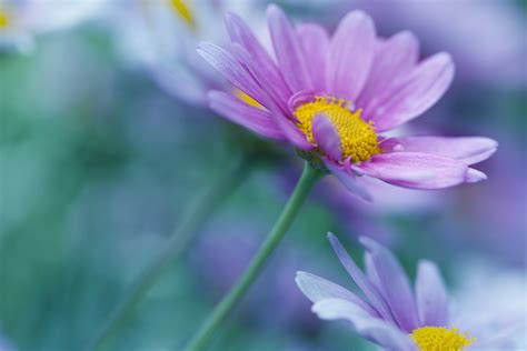 wallpaper purple daisies hd flowers