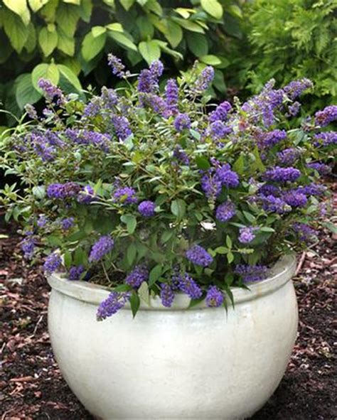 new small shrubs are great for tight spaces even containers buffalo niagaragardening