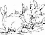 Pages Coloring Rabbit Bunnies Animals Hungry sketch template
