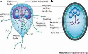 The Role Of Giardia Lamblia In Day Cares