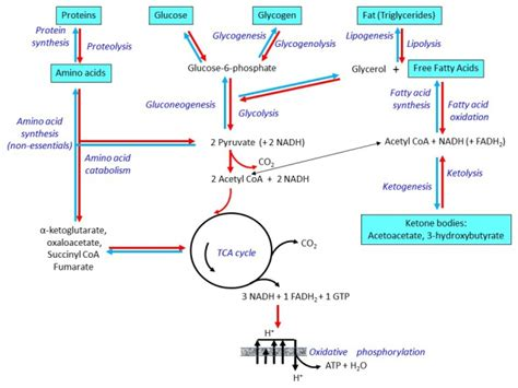 metabolic pathways metabolism insulin and other