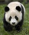 Panda | Lovely & Sweet Wild Animal Fact & Pictures ...