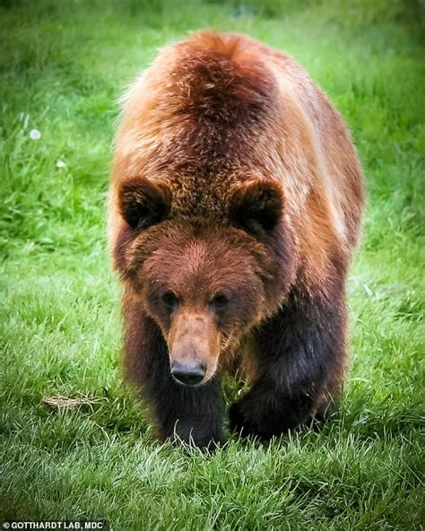 hibernating grizzly bears hold  key  stopping muscles