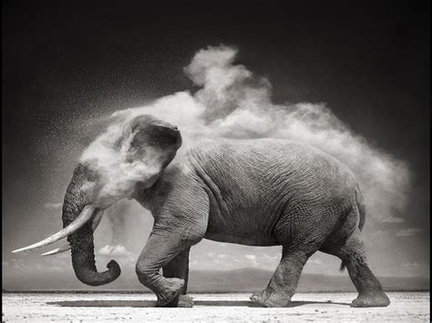elephant black  white picture long wallpapers