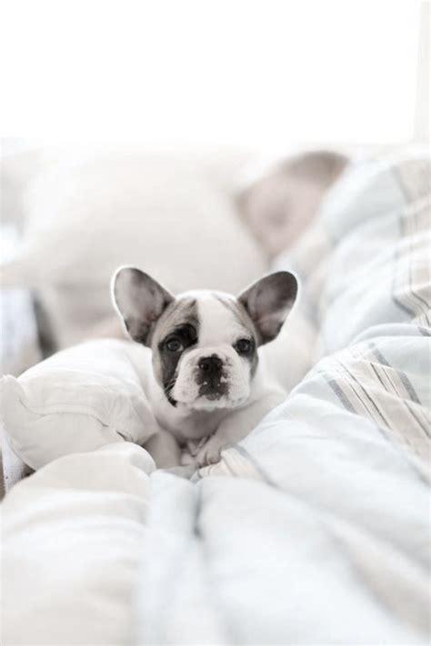 cute french bulldog ideas  pinterest french
