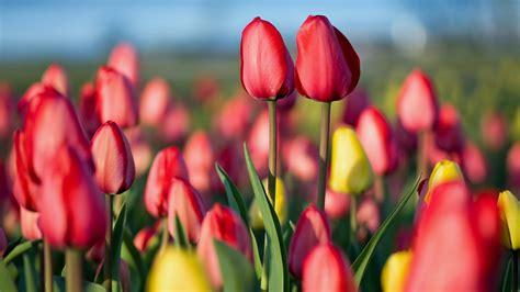 Spring Tulip Festival Bing Wallpaper Download