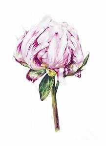 Single Peony II Painting by Marie Burke