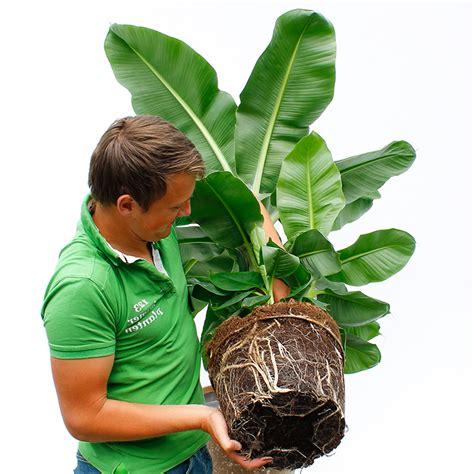 Große Zimmerpflanzen Günstig by Gro 223 E Zimmerpflanzen Kaufen 123zimmerpflanzen