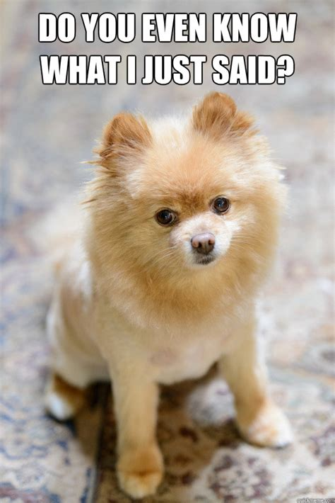 Pomeranian Meme - do you even know what i just said nagging pomeranian quickmeme