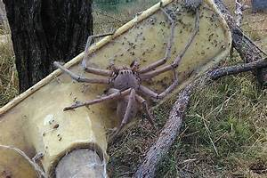 The biggest Huntsman spider ever found? Horrifying snap of ...