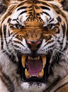 Just an angry tiger. | Tigers, Animal and Cat