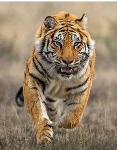 Best Tigers Big Cats Images