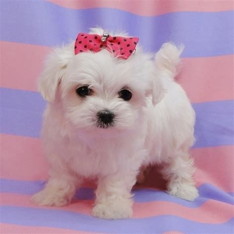 maltese puppies  sale   usa canada australia