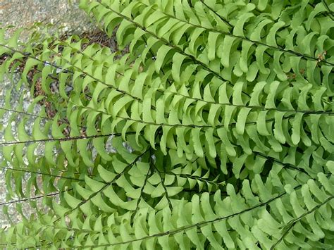 ferns species ferns