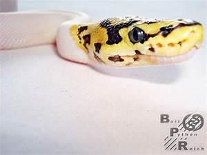 Desert Leopard Pied Spider - Morph List - World of Ball ...