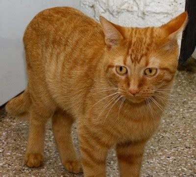 garfield cat cat guardians an all volunteer cat shelter cat in the