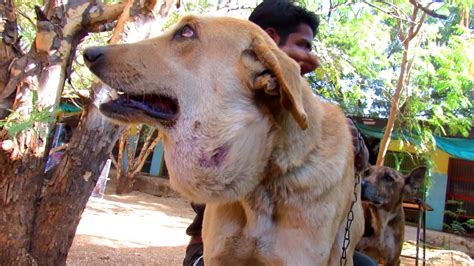 abscess big  balloon  street dog treated  healed