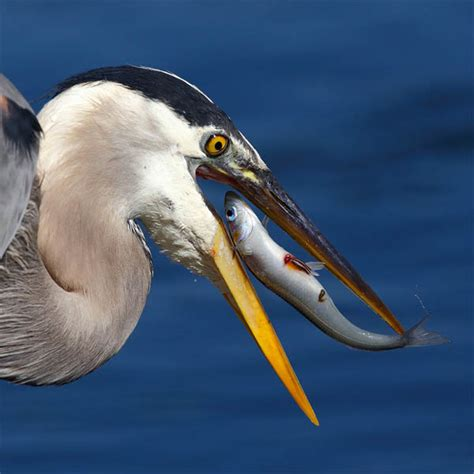 stunning high speed   birds catching fish design