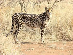 The King Cheetah Amazing Facts  U0026 Pictures