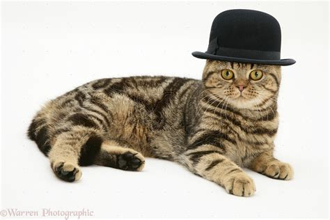 British Shorthair brown tabby cat wearing a bowler hat ...