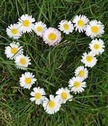 Image result for picture daisy