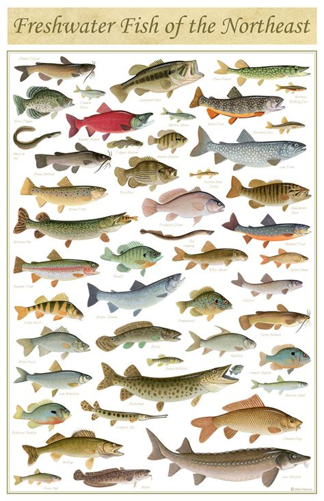 freshwater fish   northeast poster   print