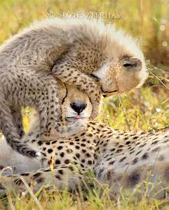 Baby Animal Photography BABY CHEETAH PLAYING With Mom Photo