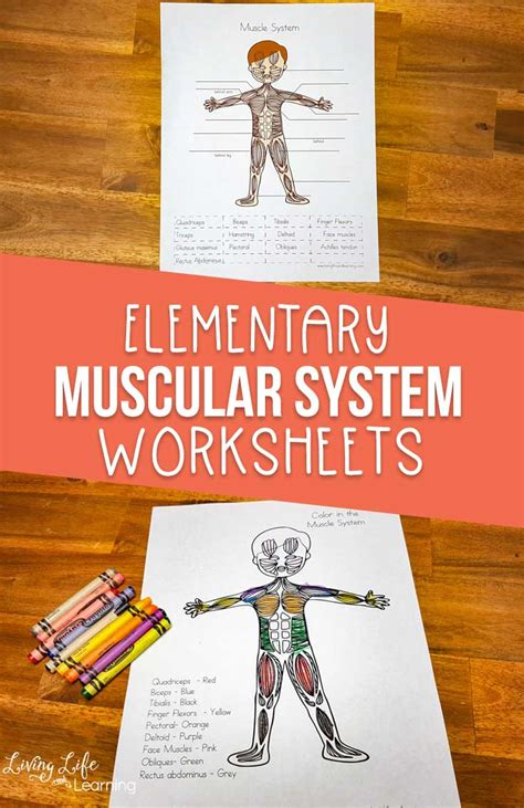 muscular system worksheets  elementary students