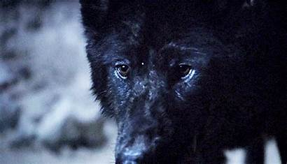 Wolf Eyes Wolves Pack Werewolf She Animated