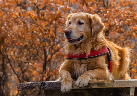 are golden retrievers loyal and protective