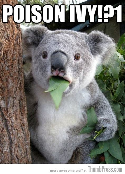 Meme Bear - sad koala bear meme www imgkid com the image kid has it