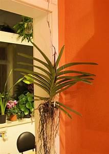 Orchidee Vanda Pflege : vanda orchidee als einzugsgeschenk majas pflanzenblog ~ Lizthompson.info Haus und Dekorationen