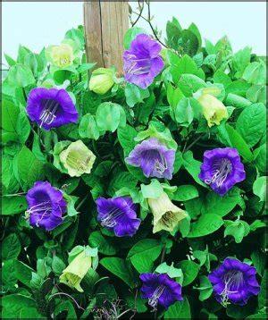 cathedral bells vine cobaea scandens vine cathedral bells beautiful cup saucer vine