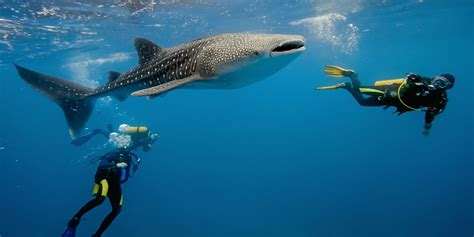 Dive With Whale Sharks How Far Would You Go To Dive With Whale Sharks