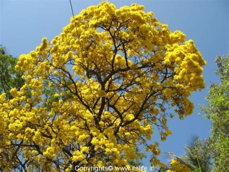 tree with yellow flowers tabebuia aurea