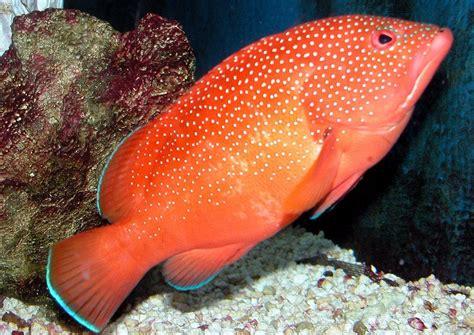 grouper coney caribbean fish aquarium fulvus epinephelus flickr game shopify fishing amphibians jewel