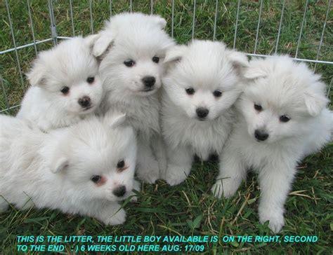 13 best dogs american eskimo dog images on pinterest