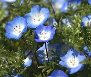 Baby Blue Eyes Nemophila Menziesii Seeds