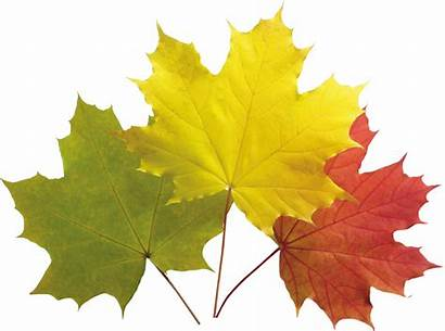 Leaves Autumn Leaf Yellow Transparent Clipart Leave
