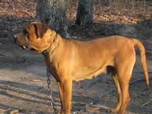 Tosa Inu Japanese Mastiff