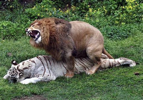 lion  tiger matingpet  gallery lion pet  galleryrppzamn