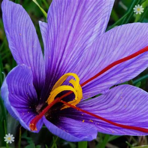 crocus sativus saffron crocus