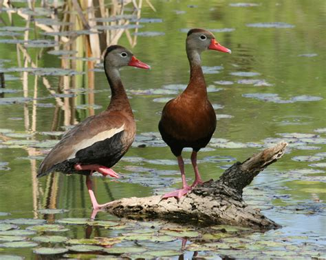 black bellied whistling duck birdspix