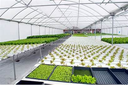 Hydroponic Japan Hydroponics Busy System Growing Lettuce