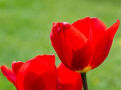 wann pflanzt tulpen wann pflanzt tulpen tulpen pflege tulpen pflege pflanzen d ngen schnitt wann ist muttertag