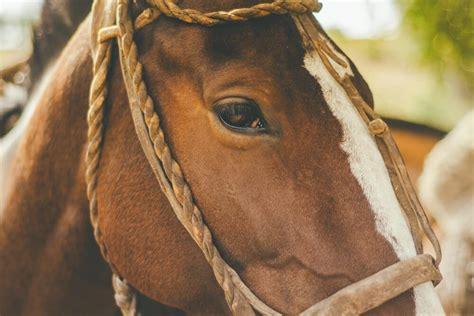 horse strangles vaccine beginner breed age breeds beginners owner mature brand against