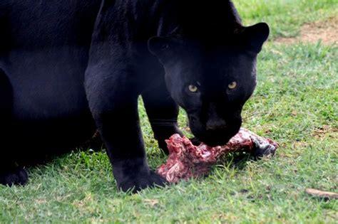 Black Jaguar Habitat by Black Jaguar Diet Habitat Facts And Lifespan With